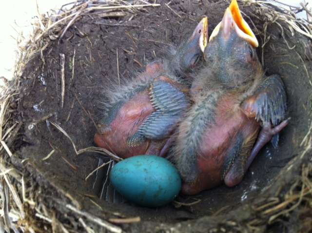 American robin nestlings and egg, also shot by LJ in June.