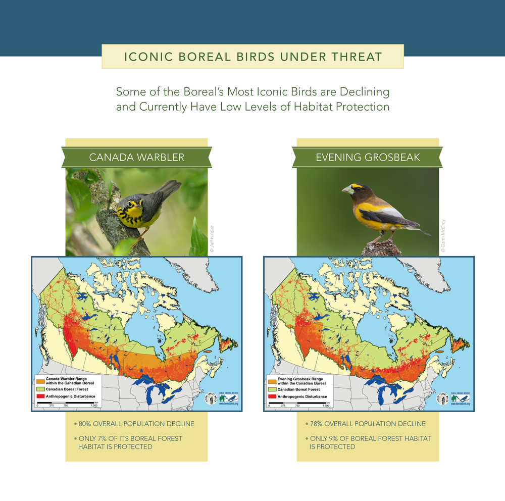 Two of the birds under threat are the Canada warbler and the evening grosbeak.