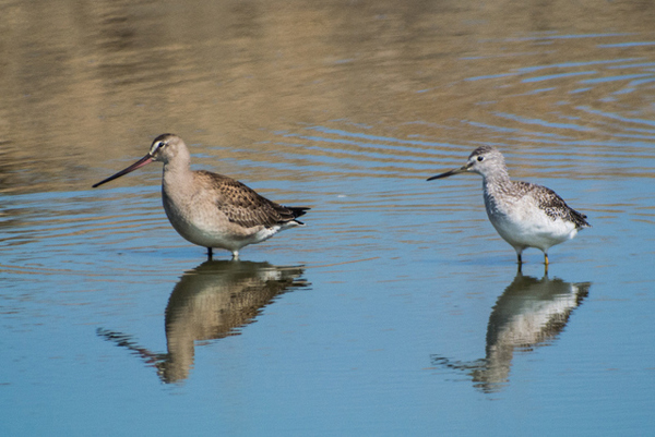 And yet another, the Hudsonian godwit. (photo courtesy of Len Blumin)