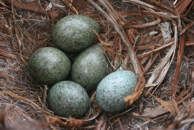 A bonus treat for those of you who don't see The Naturalist's Notebook page on Facebook: A photo of crow's eggs taken recently by the great naturalist and writer Bernd Heinrich near his cabin in western Maine. Yes, Bernd climbed to the top of a tree to get the shot.