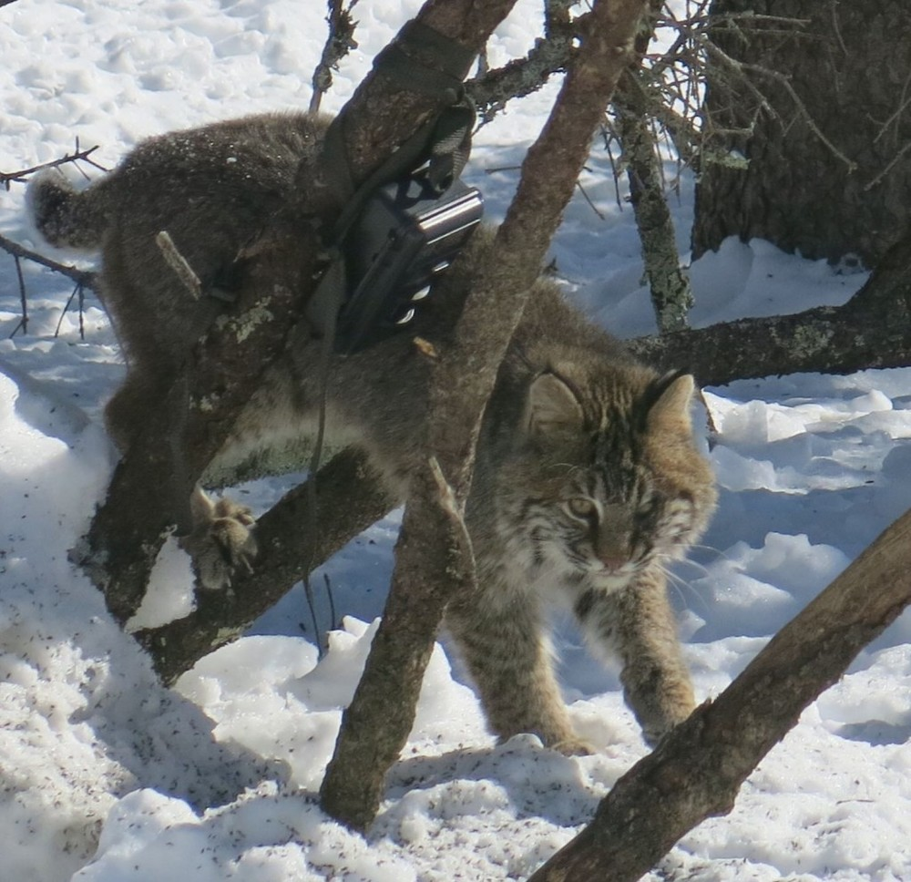 The bobcat often returned to scout our feeders. That black box is a motion-detecting wildlife camera.
