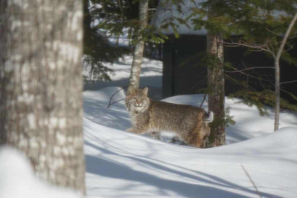At times, apart from its short tail, the bobcat reminded us of an oversized Maine coon cat.