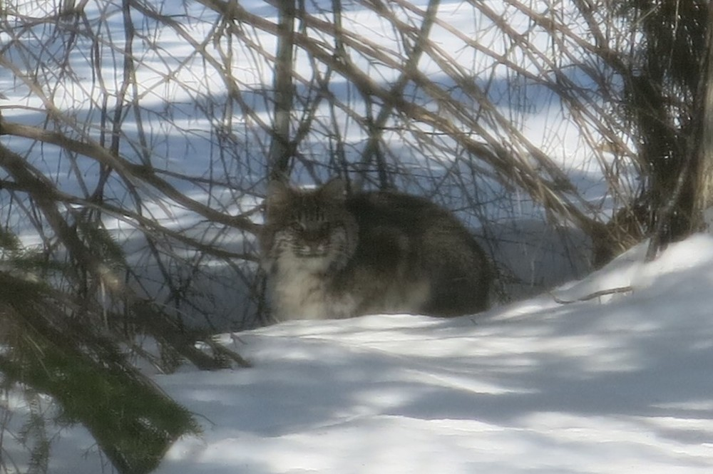 The bobcat in another of the resting spots along its route. Again, very house-cat-like.