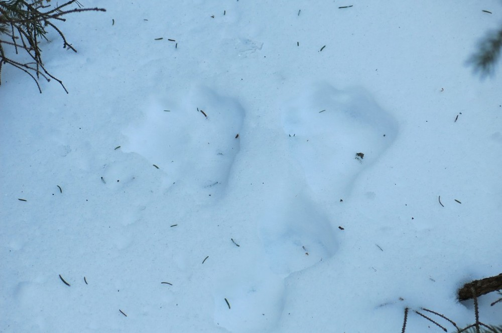 Snowshoe hare tracks. The front track marks were made by the animal's snowshoe-like back feet as the hare hopped.