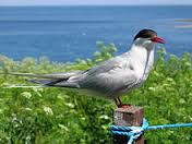 Arctic terns are declining so rapidly that Linda fears they may vanish from the Gulf of Maine within a decade.