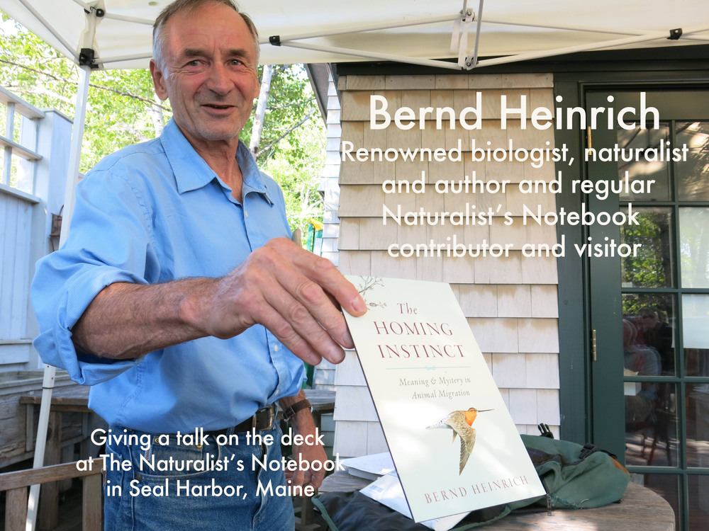Bernd Heinrich is one of the world's  greatest living naturalists  and nature writers (a winner of the prestigious John Burroughs Medal for natural-history writing, among other honors)   and a wonderful friend of The Naturalist's Notebook's. He is also an artist. In both our Seal Harbor and Northeast Harbor spaces we have shown some of the many paintings and illustrations that he has done for his nearly 20 books (including bestsellers such as  Mind of the Raven  and  Winter World ). We have set up interactions in which visitors learn to draw birds based on some of his paintings. Bernd has done multiple talks and book-signings with the Notebook, welcomed the two of us to his cabin in western Maine (where he conducts much of his field research), patiently—make that enthusiastically—answered constant questions from us about every aspect of nature, shared with our blog and Facebook page some of his latest photos and discoveries, and helped us and Connecticut naturalist/artist Dorie Petrochko create a vernal pool diorama for the Seal Harbor Notebook.   Bernd, a professor emeritus at the University of Vermont, is one of the most remarkable people we've ever met—an amazingly astute observer of the natural world, an endlessly curious field biologist, a clear and insightful writer, a record-setting ultra-distance runner, the best tree-climber we know (how else to check a nest for eggs?) and a terrific person.