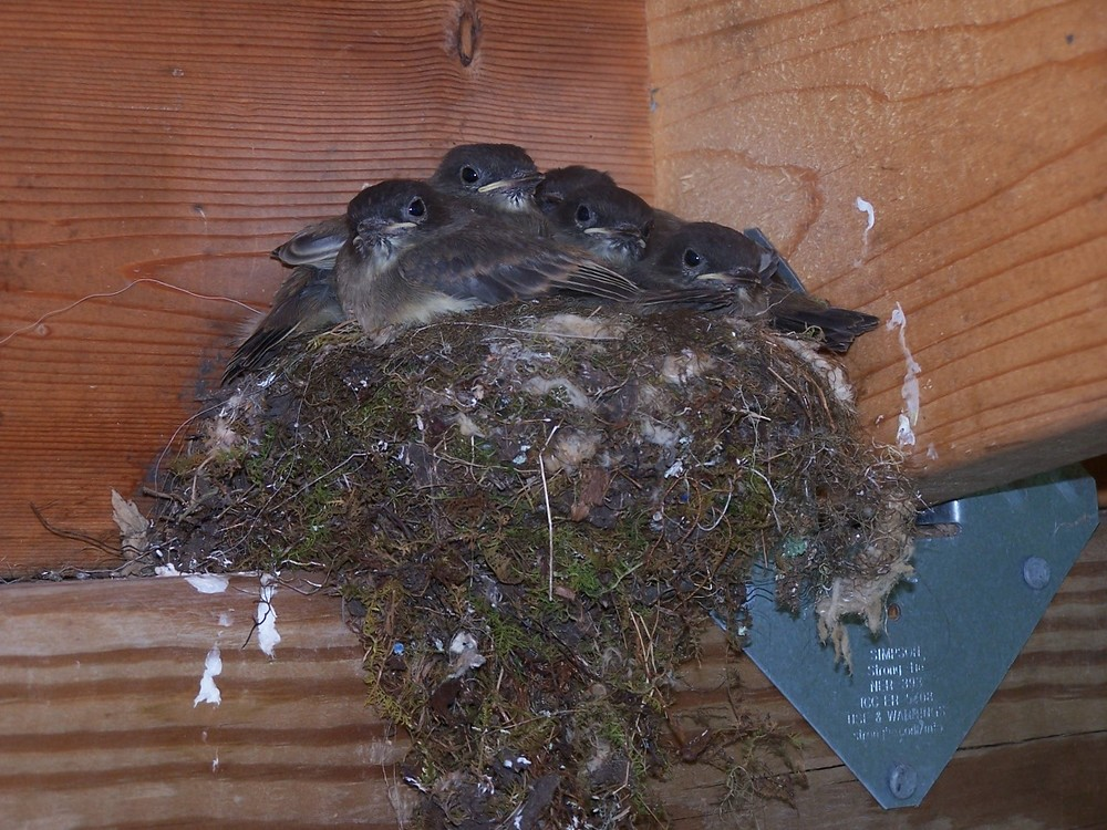 These phoebe chicks hatched in an eave by Notebook friend Leanne Nickon's art studio. Leanne didn't want to disturb the birds so she couldn't get into her studio for several days.
