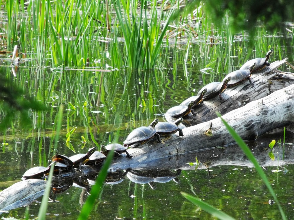 I'd never seen this many turtles sunning on one log.