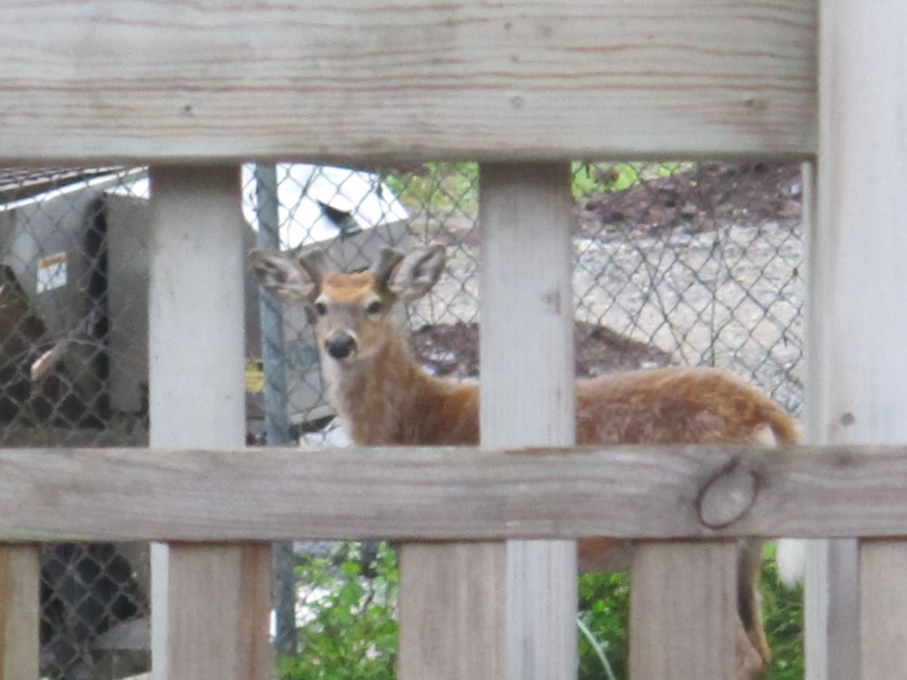 For the first time ever Pamelia and I saw a deer visiting The Naturalist's Notebook. He or she was nibbling on a neighbor's garden in the back of the building.