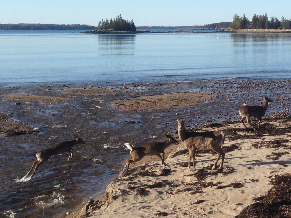 We wanted to give you first-time visitors a glimpse of Seal Harbor, Maine (home to one of The Naturalist's Notebook spaces), so here's a scene Craig photographed earlier this year. These deer were gamboling down the beach just a few hundred yards from the Notebook, near an entrance to Acadia National Park. It was such an unusual scene that the photo was picked up and published by the   Mount Desert Islander   newspaper (which by the way is the best source for MDI news if you're planning a visit to Acadia).
