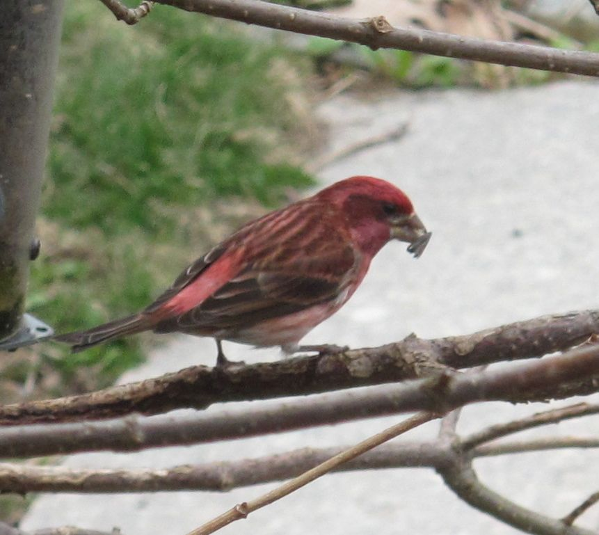 The first purple finch of the season just showed up.