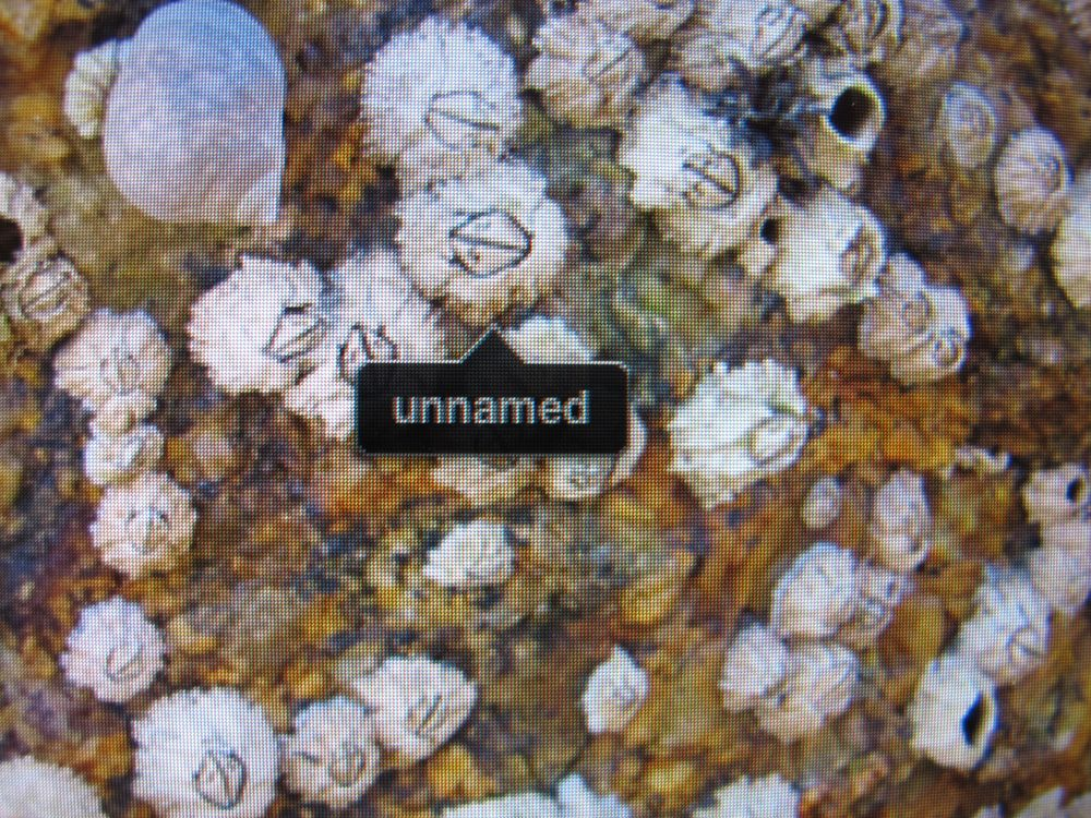 For those of you who didn't see it on The Naturalist's Notebook's Facebook page, here's the funny sight that popped up on my computer screen when I was downloading some shots of barnacles. The face-recognition software in iPhoto saw one barnacle as a human face, but couldn't identify whose.