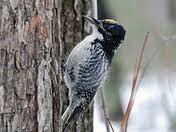 A three-toed woodpecker