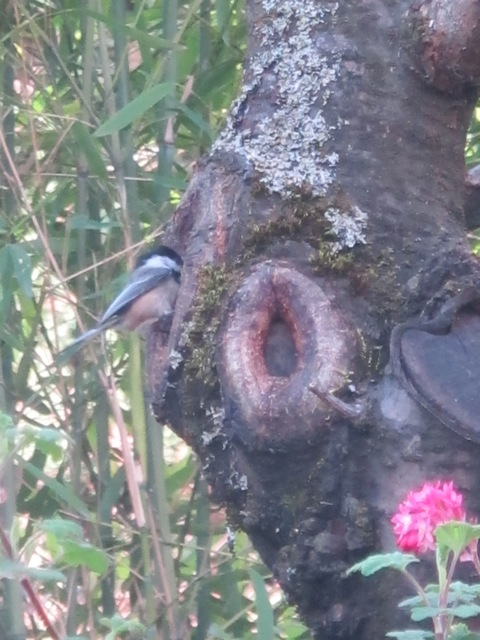 One of the chickadees at work.