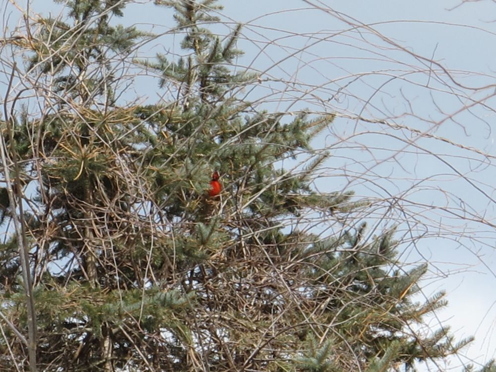 Two days ago we saw the reddest cardinal this side of Rome. Sign of spring?