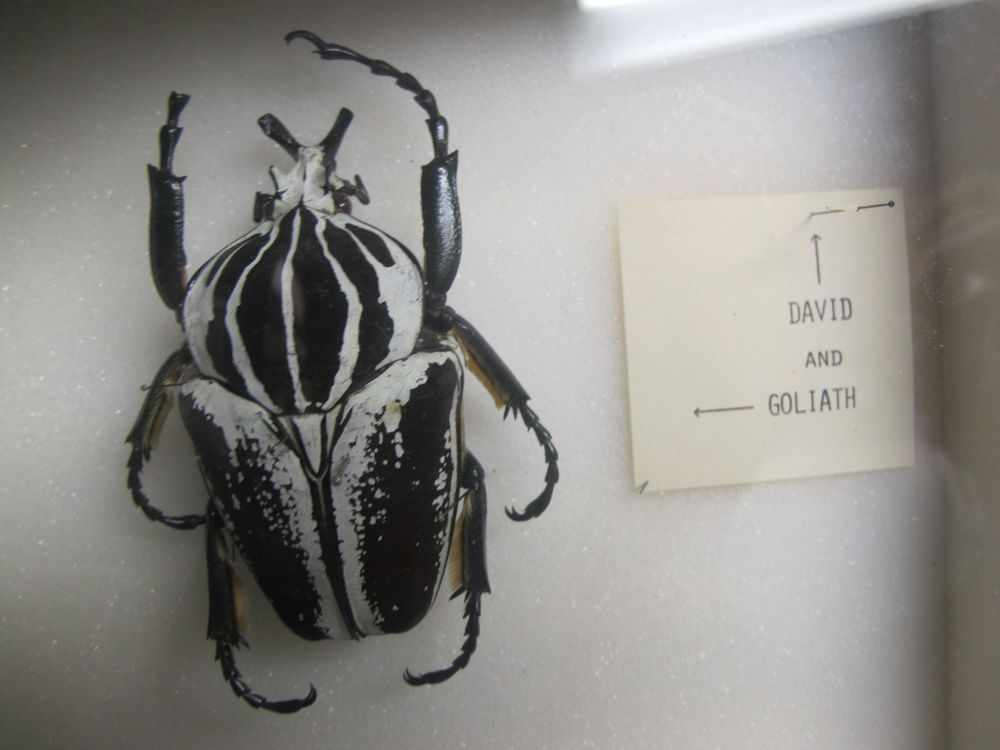 The variety of beetles in the world is staggering. The Comparative Museum collection has these labeled in jest as David and Goliath. David is smaller than the head of a pin; Goliath is the size of your fist.