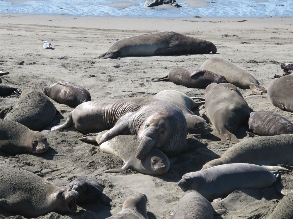 Only the male seals have the elephant-trunk-like snouts, which they use to roar during mating season. (All of the seals tend to make rude belching noises.) Most of the elephant seals on the beach were either females or pups.