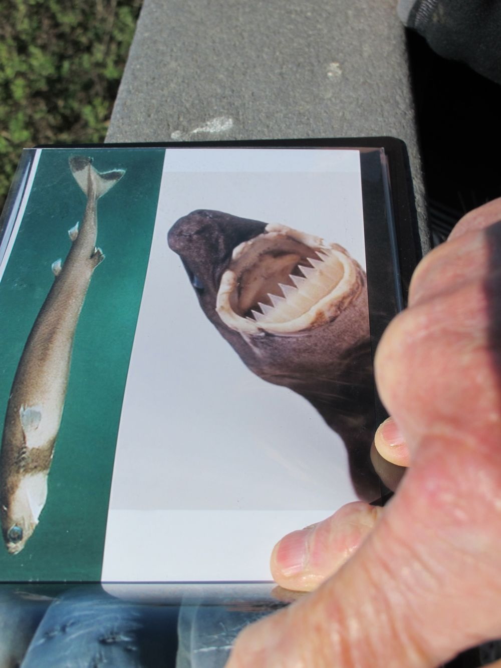 A naturalist on the beach showed us a photo of a cookie-cutter shark.
