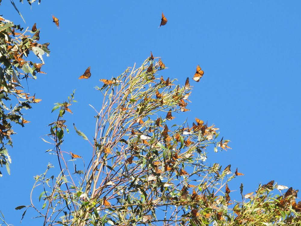 A particular grove of eucalyptus trees in Pismo Beach was filled with monarchs.