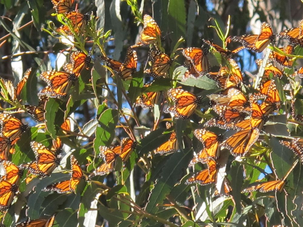 Some of the monarchs had migrated more than 1,000 miles, and none had ever made the trip before. The route is built into their genetic programming, and they make use of clues from ultraviolet light (which humans can't see), among other factors, to find their way to the destination.