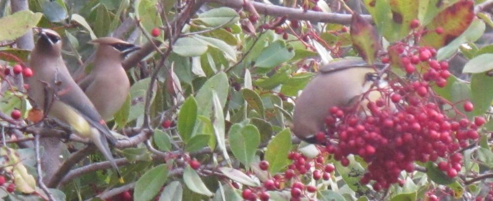 A flock of cedar waxwings was fueliing up on berries on campus.