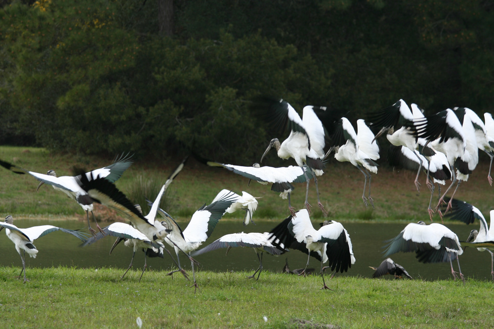 Some of South Carolina's wood storks. That species is the only type of stork to breed in North America.
