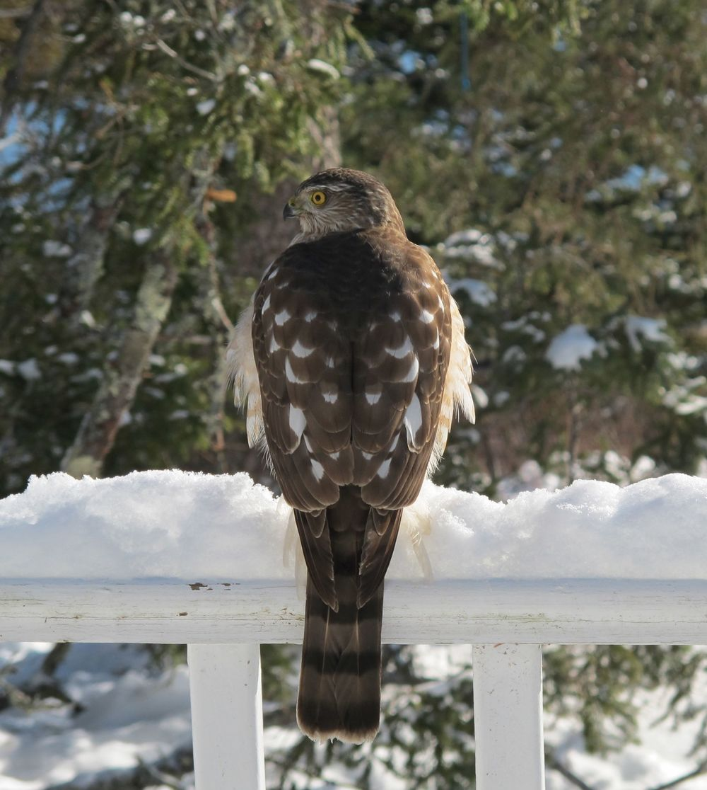 This young sharp-shinned hawk sat on the deck watching our bird feeders and looking for prey. After about 20 minutes of studying him, I carefully opened the glass storm door and stood about six feet away when taking this shot. I went back inside and a few minutes later he flew off.