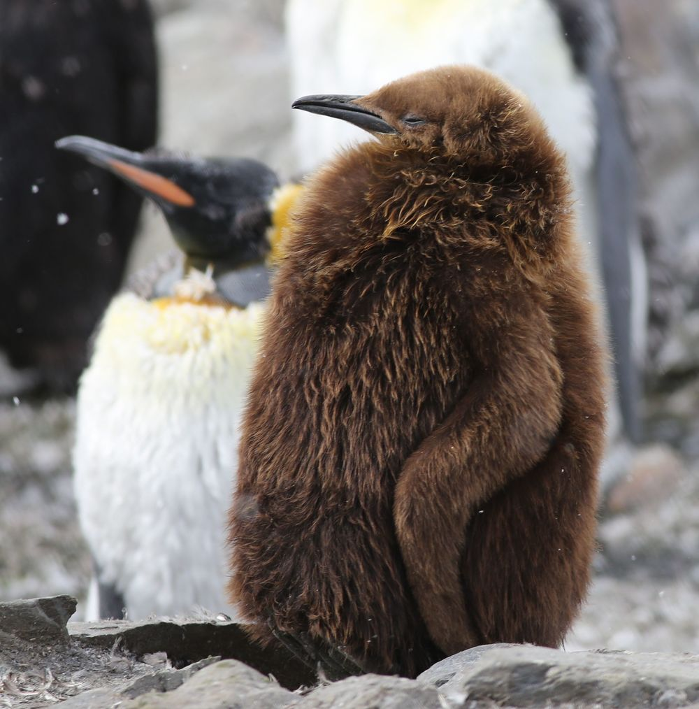 Pamelia took this photo of a king penguin chick and adult at South Georgia in the Antarctic.