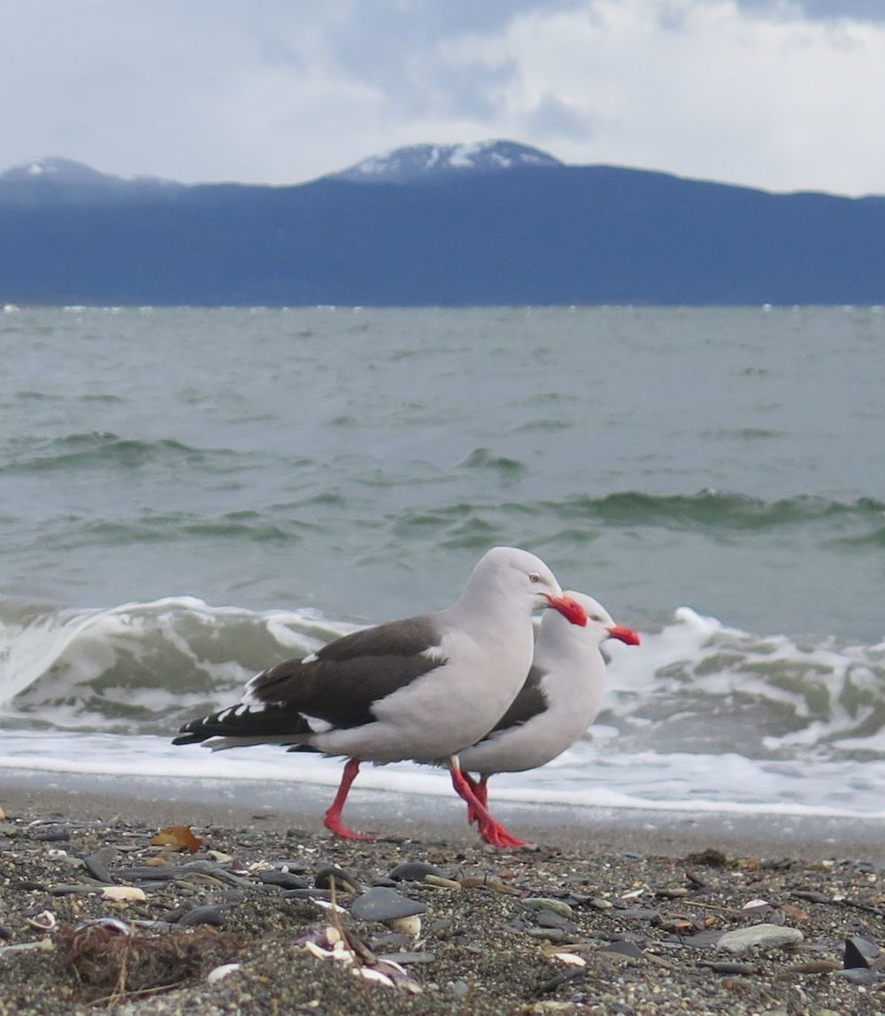 While beachcombing along the Beagle Channel we saw numerous dolphin gulls, which are found only in southern Argentina and Chile, the Falkland Islands and islands close to Antarctica. We loved their red-orange legs and bills.