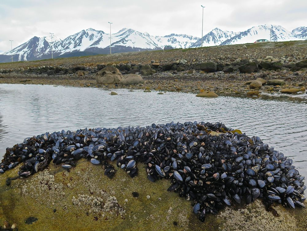 Mussel beds have been vanishing from bays around us in Maine, but the Beagle Channel had them in abundance.