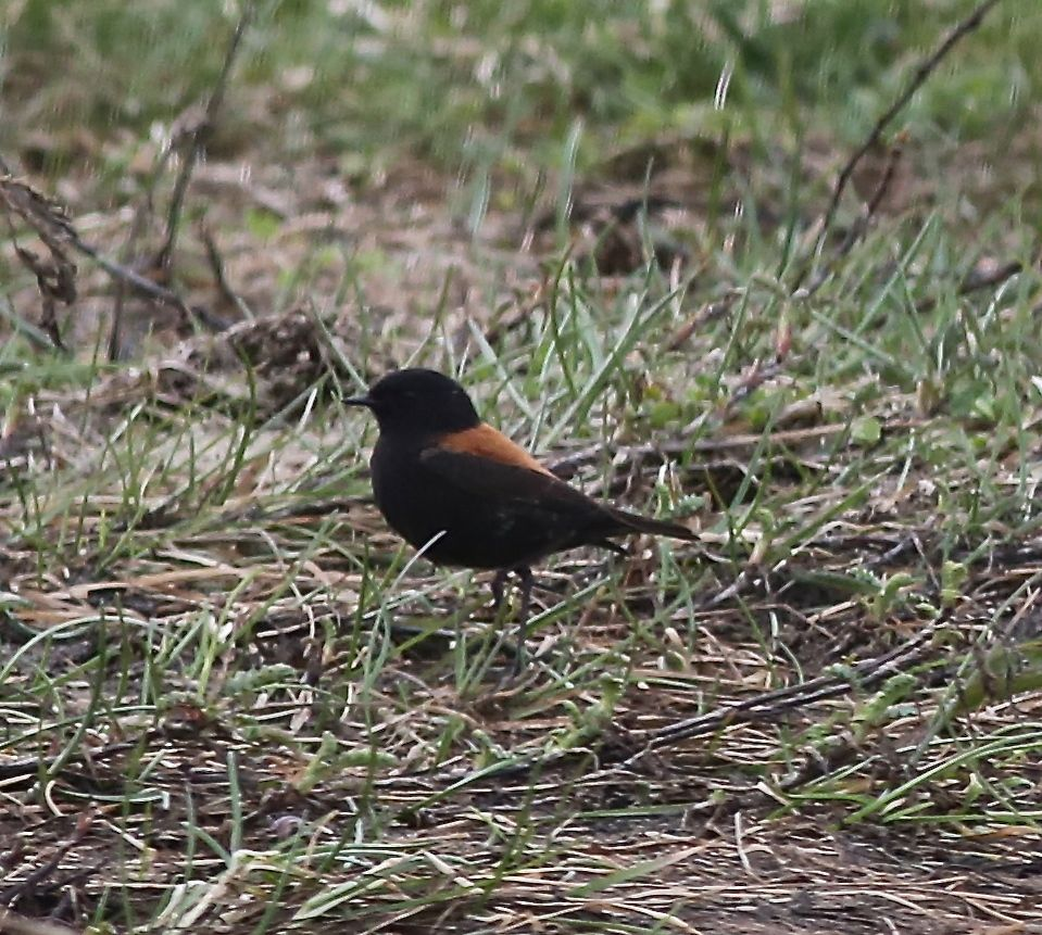 We saw many of these austral negritos, small tyrant flycatchers that didn't like to stand still for us take their photos. This one was a male.