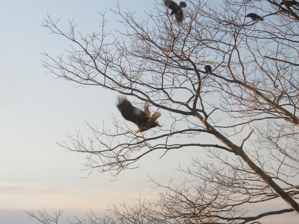 Bald eagle and crows in our big oak tree by the sea. A caw-caw-phony of crow calls often warns of the eagle's approach, and the crows sometimes work together to try to drive the eagle away.