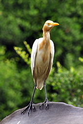 File:Cattle_Egret2