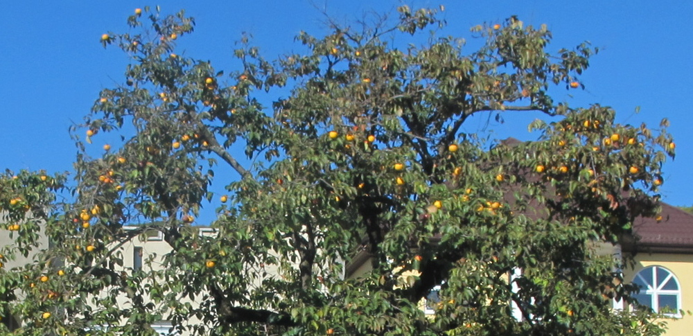 Oranges grow plentifully in Sochi's sub-tropical climate. This is one of the many trees we saw on the ride from the airport into the mountains.