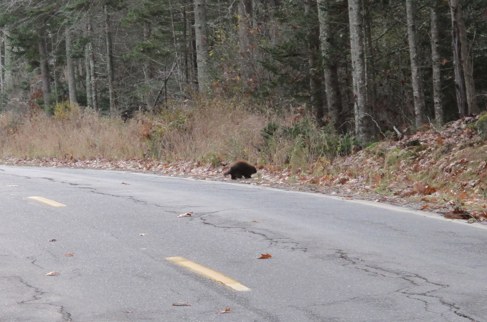 On a walk near our house we watched a young porcupine cross the road and head into the woods.