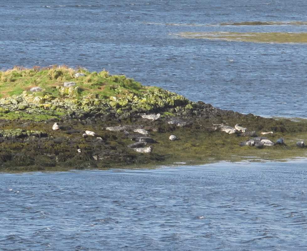 These gray seals were among the wildlife we spotted. We also saw many hooded crows (which are a mixture of gray and black), a couple of gray herons (similar to the blue heron we see in Maine) and several gannets, along with countless gulls.
