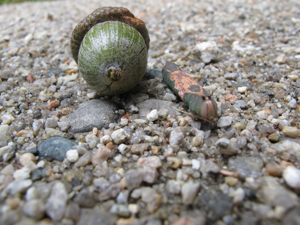 Another shot of our white-bloched heterocampa. That was a really huge acorn, but the way.