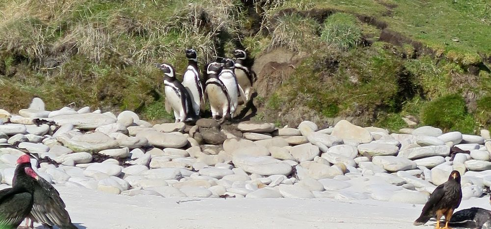 The first sight as our Zodiac neared the shore: Magellanic penguins on the hillside watching a caracara devour what appeared to be one of their deceased compatriots, with two turkey vultures standing nearby. Magellanics are mid-sized penguins (24 to 30 inches tall) found up and down the coasts of Argentina and Chile.