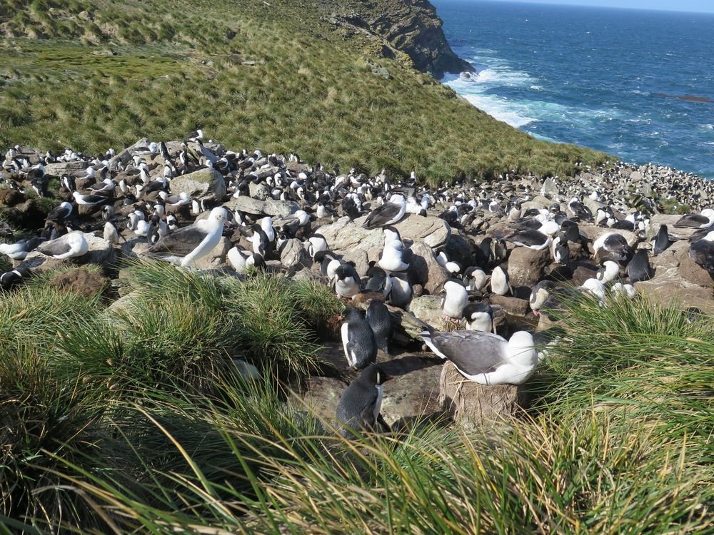And there it was, the colony of black-browed albatrosses on their nests, with rockhopper penguins all around them enjoying free protection from predators. The nesting area was set among clumps of tussock grass. When walking around the edge of it you had to watch out to avoid stepping on hidden rockhoppers, which at 20 inches tall are among the world's smallest penguins.
