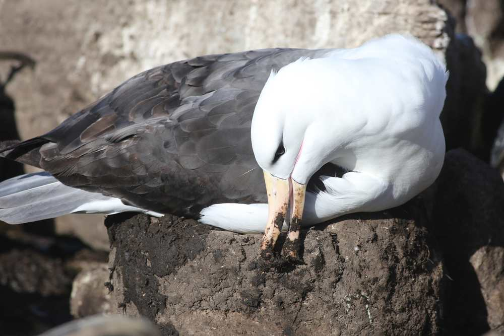 ...while others worked on their nests. Albatrosses often mate for life, and their lives can last half a century. They don't start mating until they are seven to 10 years old.