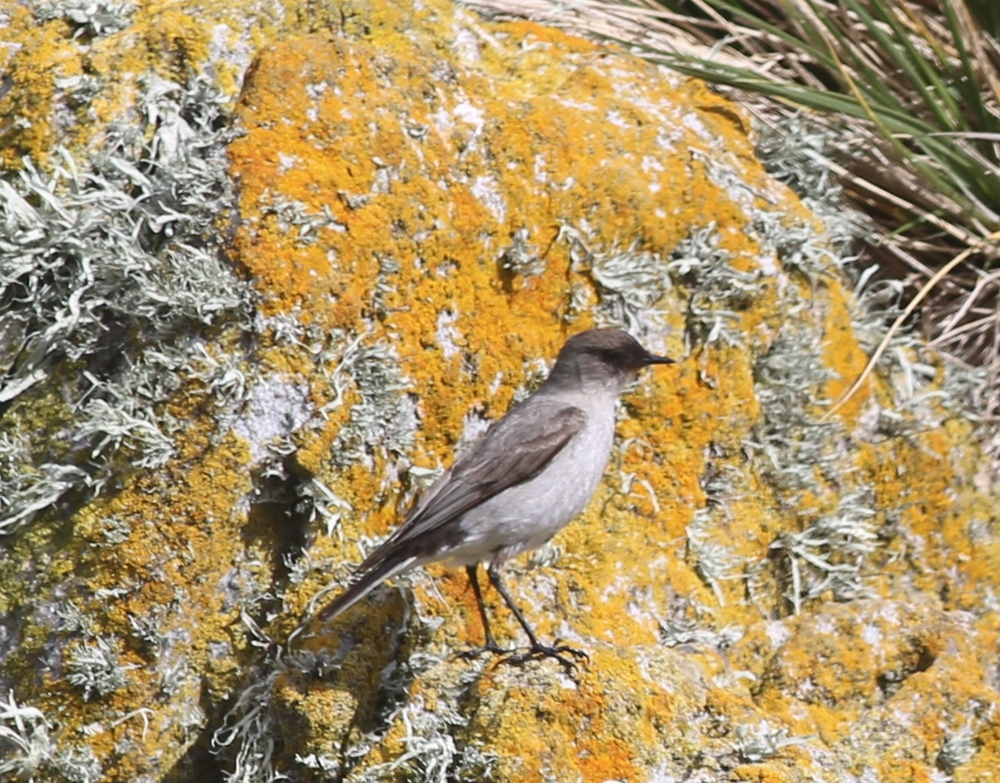 "Simon, the ship's ornithologist, identified this for me as a dark-faced ground tyrant, a species of tyrant flycatcher. That ""tyrant"" group got its name based on the behavior of its original member, the Eastern kingbird, which was known to boldly chase larger birds away from its nest."