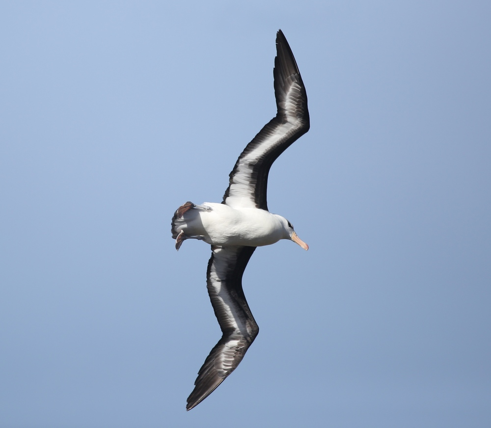 Like other albatrosses, the black-browed has been devastated by human fishing practices, specifically the use of longlines, whose multiple baited hooks attract the birds. These lines, which can be miles long, are dragged near the surface to catch big fish such as tuna and swordfish but end up snagging and drowning large numbers of albatrosses (and sea turtles and other ocean animals) as well. The fishing industry has tried to come up with ways to reduce the albatross kill, but by a decade ago 17 of the world's 24 albatross species were in danger of extinction. The black-browed albatross population in the Falklands has dropped by 67 percent since 1950.