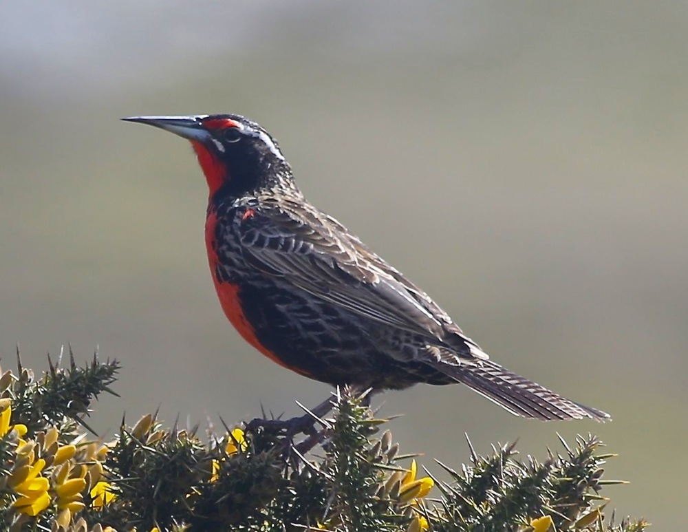 Along the way a long-tailed meadowlark flew to and fro, plucking insects from a patch of gorse.