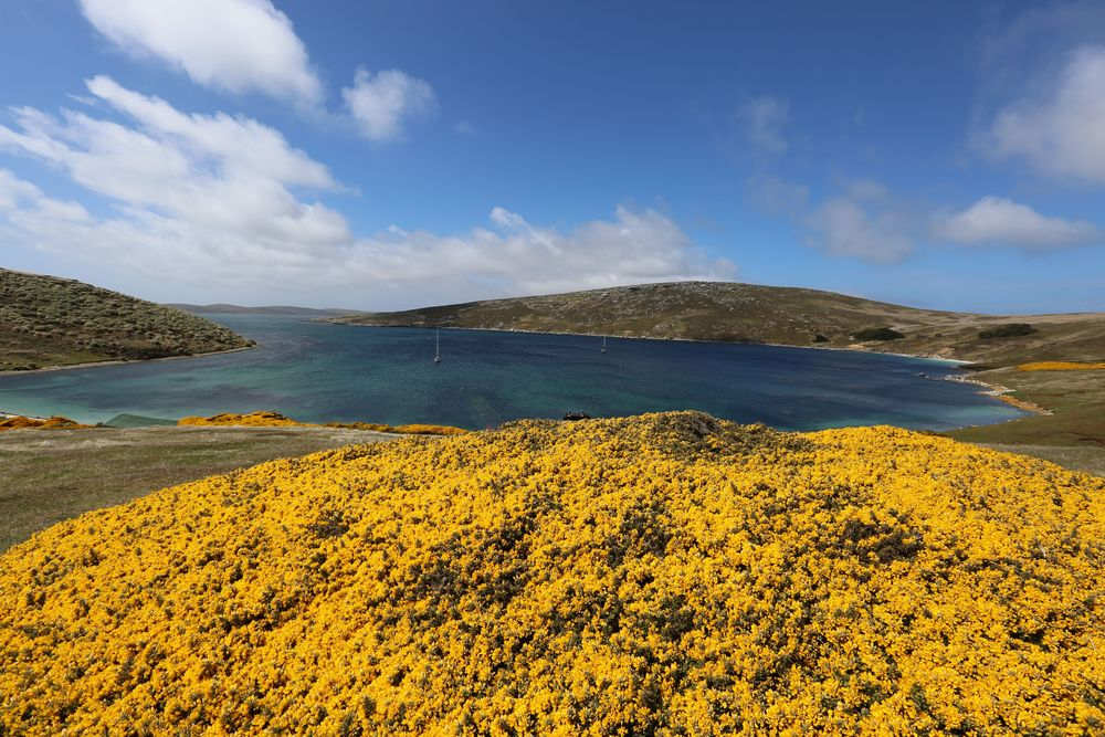 The gorse and the almost Caribbean-blue water at West Point's harbor, where our Zodiacs were waiting for us.
