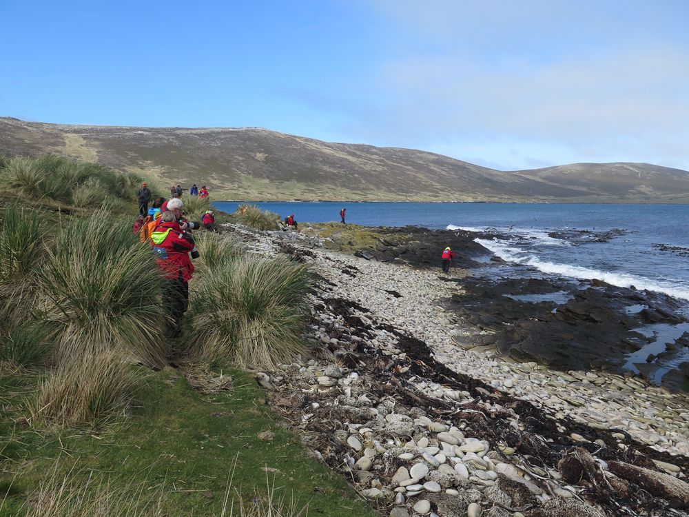 We roamed the tussock grass and rocky shore of Carcass Island, where in a remarkable stretch of just 100 yards we watched 15 species of birds flying, swimming, resting, feeding and nesting.