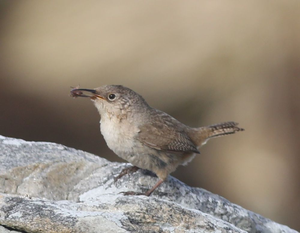 As amazing as this sounds, the Cobb's wren sang even when he had an insect in his beak. We loved this little guy.