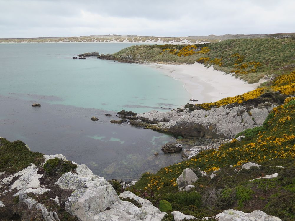 As elsewhere in the Falklands, yellow gorse—invasive but lovely—adorned the scene.