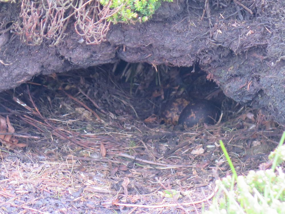 Along the trail we saw a pair of Magellanic penguin eggs in an abandoned burrow.