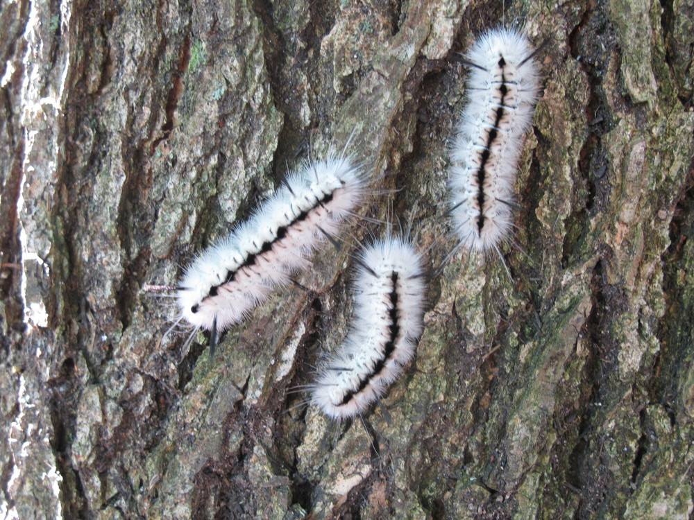 About a dozen of these white hickory tussock moth caterpillars were on the trunk of an oak tree. This type of caterpillar has been growing in number in Maine. Be forewarned if you see one: Touching its hairs can cause an allergic reaction.