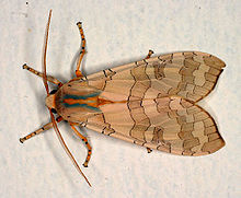 The caterpillar will metamorphose into this—a banded tussock moth, sometimes called a pale tiger moth.